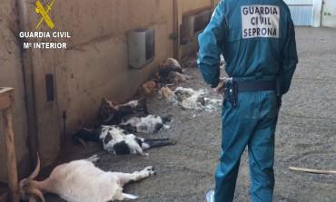 La Guardia Civil detiene a una ganadera por la muerte de cerca de 350 cabras por inanición