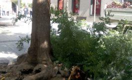 Actuación de urgencia en los árboles de la plaza Concepción Arenal
