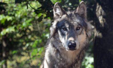 El retorno del lobo