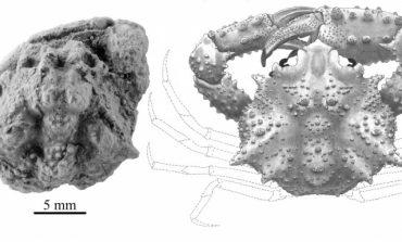 Descubierta una nueva especie de cangrejo fósil en el Pirineo aragonés