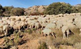 Los primeros ganaderos del Neolítico ya planificaban el ciclo de reproducción de las ovejas