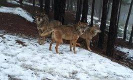 7 medidas para fomentar la coexistencia entre el lobo y la ganadería