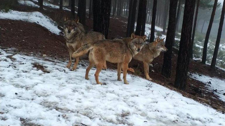 El PP llevará a la DPH la defensa de los ganaderos frente al lobo