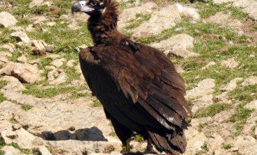 El buitre negro vuelve a criar en Aragón, tras más de un siglo de ausencia como reproductor