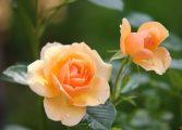 El matemático y la rosa